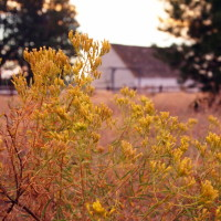 rabbit brush blooming in fall